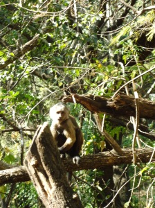 Capuchin monkey like the one they use in the hangover movie